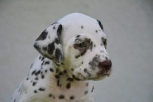 Puppy Maggan